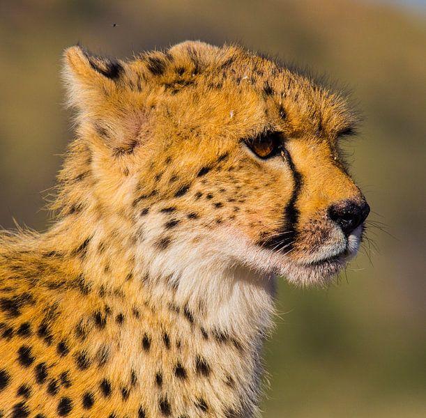 So schnell wie ein Cheeta von Linda van der Steen