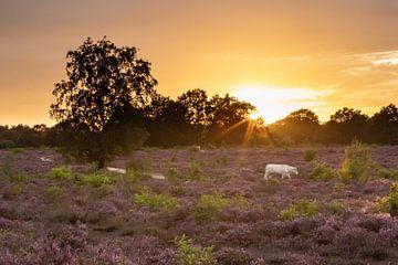 Zonsondergang op de paarse heide velden! van Peter Haastrecht, van