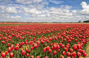 Rode Tulpen op Texel / Red Tulips on Texel van