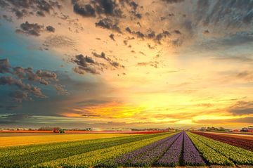 Bollenvelden in Noord-Holland