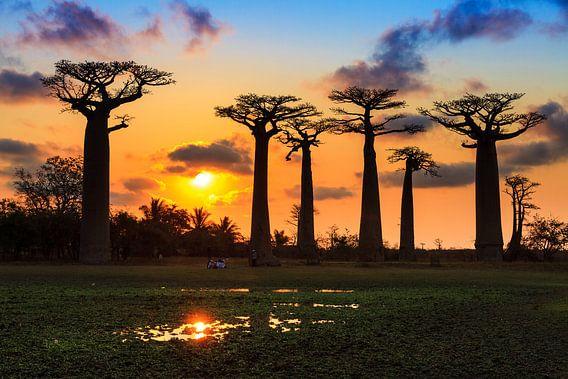 Baobab sunset van Dennis van de Water