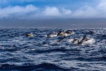 Gewone dolfijnen (Delphinus delphis) van Easycopters
