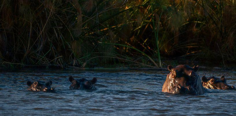 Waterpaarden van Joris Pannemans - Loris Photography
