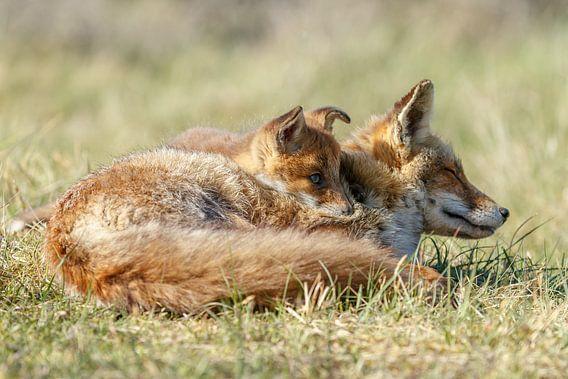 Jonge vossen welp samen met moeders van Menno Schaefer