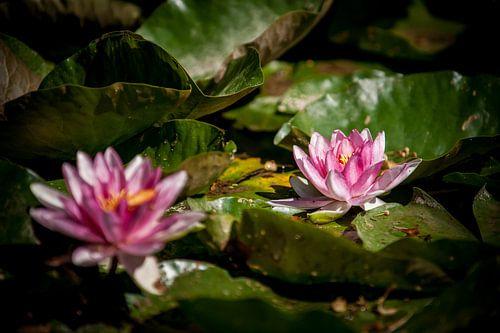 De waterlelie (Nymphaea) een prachtige bloem in stralend zonlicht van Fotografiecor .nl