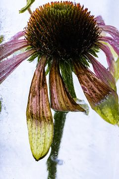 Echinacea in ijs 1 van Marc Heiligenstein