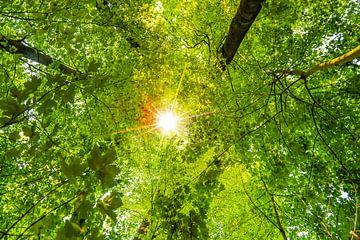 De zon schijnt door het bladerdak van beuken en esdoorns van Dieter Walther