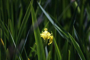 Gele lis in het riet von Kiezel Fotografie