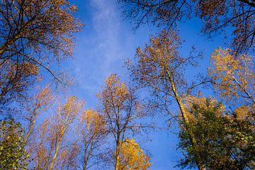 Himmelhohe goldene Bäume von Urban Photo Lab