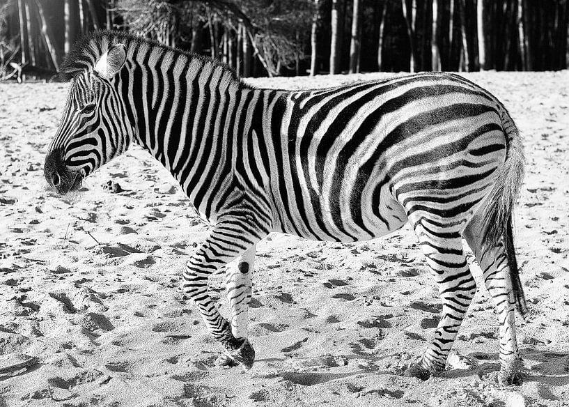 Zebra zwart/wit  van Wendy Tellier - Vastenhouw