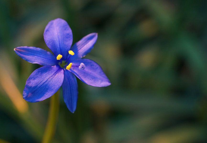 Blauwe bloem in warm licht van Anne van de Beek