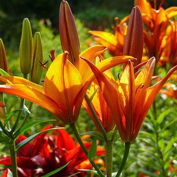 Oranje en gele iris / irisbloemen van RaSch-BS_Design