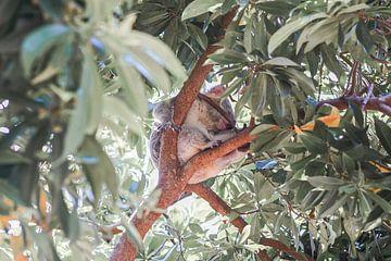 Sleepy Koala von DsDuppenPhotography