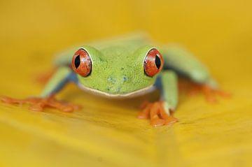 Rainette aux yeux rouges sur une feuille jaune sur AGAMI Photo Agency