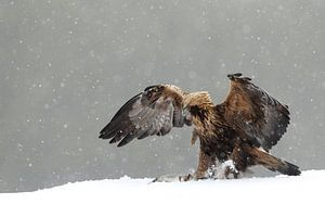 Steenarend (Golden eagle)