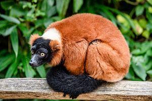 Rode Lemur van