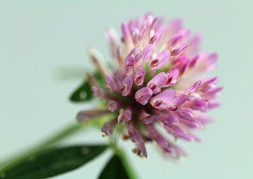 Kleeblüte von Rosi Lorz