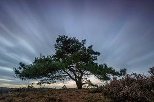 Dennenboom in de wind
