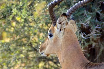 Close up mannetjes impala bokje met mooie hoorns, Kruger park, Zuid Afrika sur Vera Boels