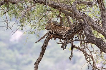Entspannter Leopard von Angelika Stern