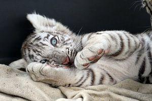 Baby White tiger van gea strucks
