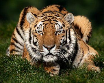 Tiger genießt die Sonne von Patrick van Bakkum