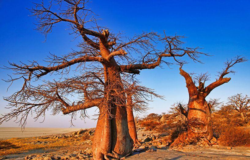Botswanas alte Bäume, Kubu Island von W. Woyke