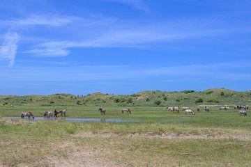 Konikpaarden in de Kennemerduinen