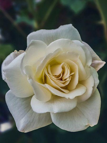 Rose, Vianen, Die Niederlande von Maarten Kost