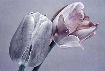 Tulpen von INA FineArt