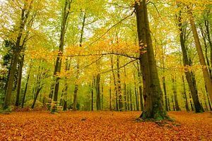 Goud geel gekleurde beukenbomen in een bos tijdens een de herfstmiddag
