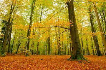 Goud geel gekleurde beukenbomen in een bos tijdens een de herfstmiddag van