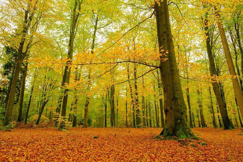 Goud geel gekleurde beukenbomen in een bos tijdens een de herfstmiddag van Sjoerd van der Wal