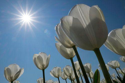 Witte tulpen in de zon van