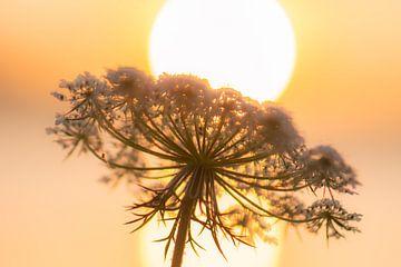 wilde peen in het zonlicht van Tania Perneel