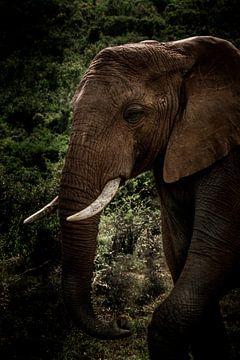 Olifant die uit z'n olifantenpad kwam sluipen in Kruger Zuid-Afrika. von Lorenzo Holtkamp