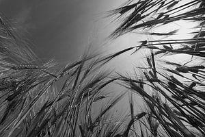 Barley Field in Summer