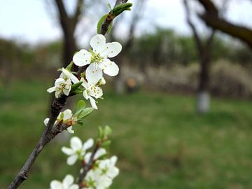 Bloesem in het voorjaar von Wilma Rigo