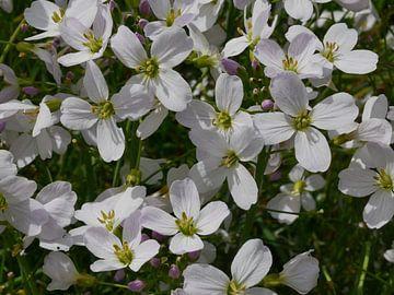 Pin Star Blume in der Sonne. von Wim vd Neut