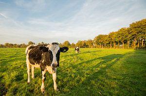 Koe in Nederlands weiland