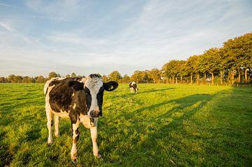 Koe in Nederlands weiland  van Kaj Hendriks