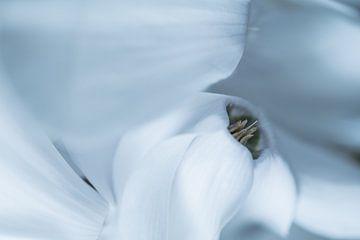 Weiß Cyclam - Zimmerpflanze von Marianne Twijnstra-Gerrits