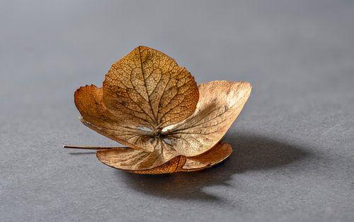A fallen and decaying Hortesia leaf... von Hans Kool