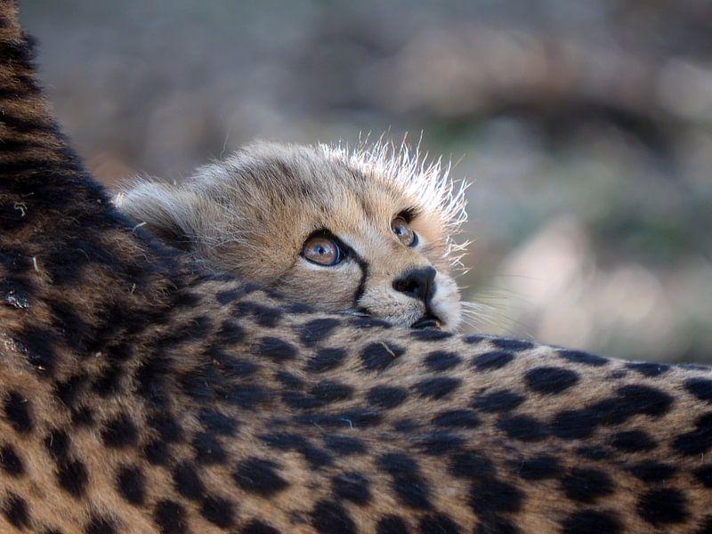 Gepard von Edwin Butter