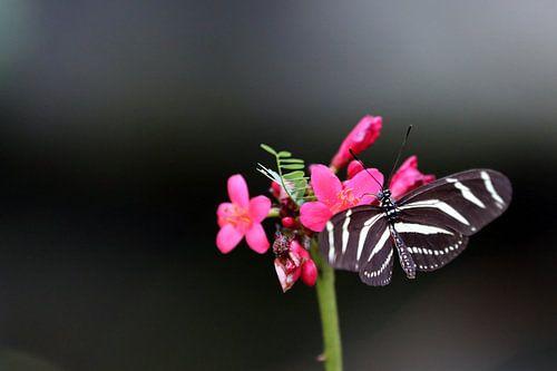 Vlinder von