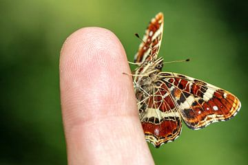 Ein Landkärtchen Falter sitzt auf meinem Zeigefinger
