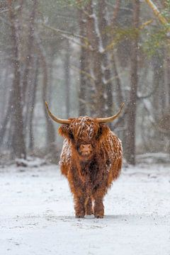 Portret van de Schotse koe van het Hooglander in de sneeuw van