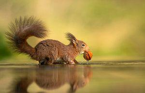 Eekhoorn in het water met walnoot van Michel de Beer