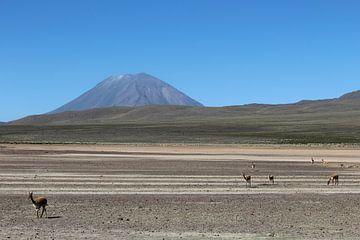 Vicuña Peru von Martin van den Berg Mandy Steehouwer
