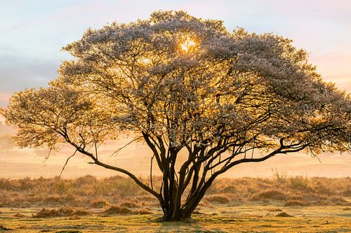 Krentenboom op de hei van Wendy van Kuler
